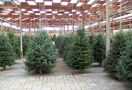 ../images/Christmas-evergreen-trees.jpg